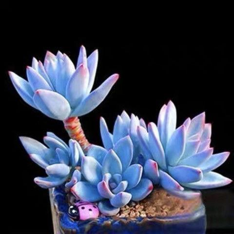 การปลูกเมล็ดพันธุ์ไม้อวบน้ำสี่ฤดูเมล็ดพันธุ์ไม้อวบน้ำหายากโต๊ะกระถางระเบียงไม้อวบน้ำและเมล็ดดอกไม้