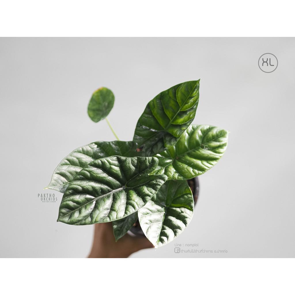 Alocasia sinuata อโลคาเซียซินัวตา