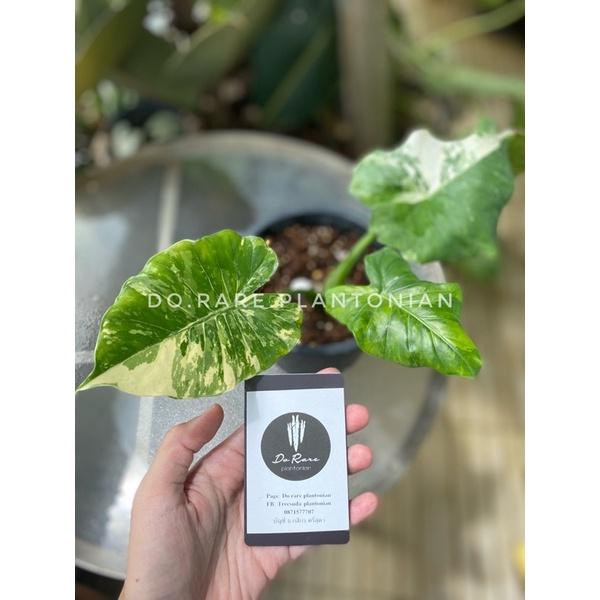 Alocasia gageana variegata หูช้างด่างขาว