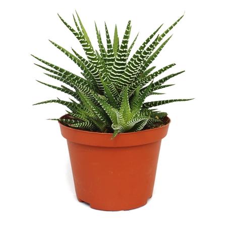 กระบองเพชร แคคตัส Cactus : ไม้อวบน้ำ Succulent plants : Haworthia Fasciata (ฮาโวเทีย ม้าลาย) 1ต้น/ชุด