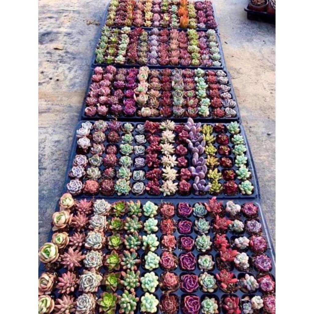 ☼✘№ไม้อวบน้ำ succulent cactus พืชอวบน้ำ (ไม้นำเข้า) คละสีคละพันธุ์ น่ารักๆ ตั้งโต๊ะทำงาน Office/Home/Garden ไซต์Size 1.5
