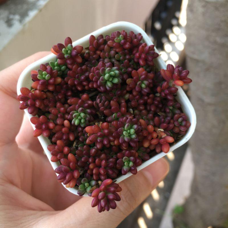 Portulaca gilliesii(Purple Rice) แพรทับทิม คุณนายตื่นสายญี่ปุ่น ไม้อวบน้ำ ต้นไม้จิ๋วตกแต่งบ้าน