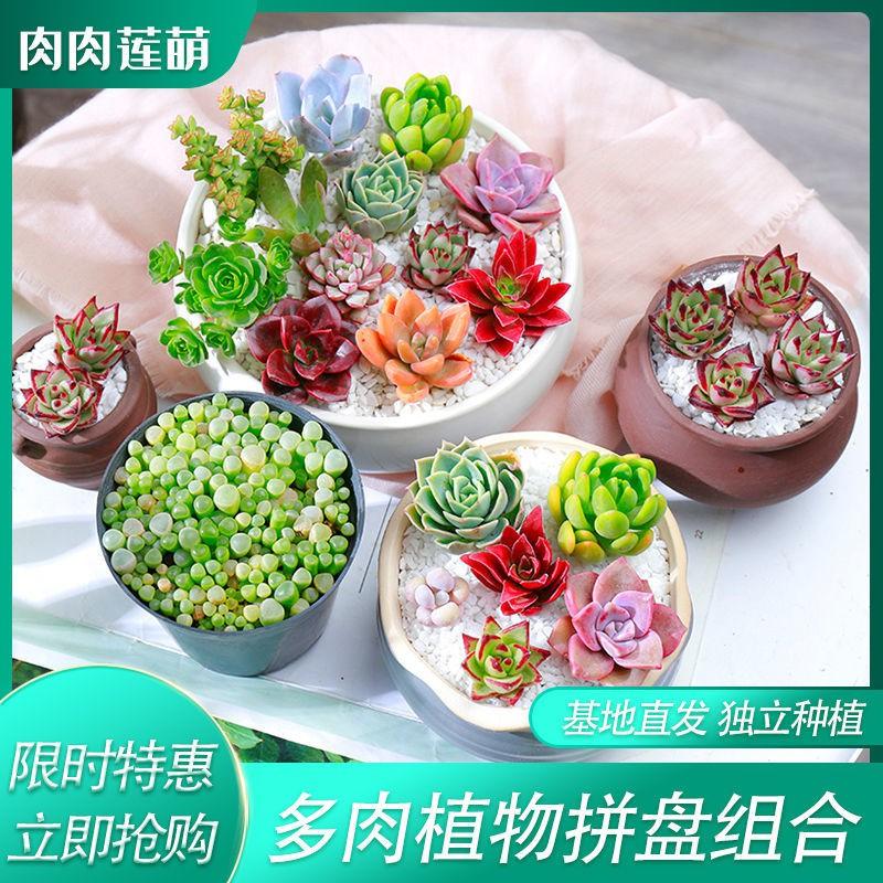 ♠ไม้อวบน้ำ กลุ่มพืชสีเขียว ดอกไม้ กระถางต้นไม้ เลี้ยงง่าย ฉ่ำในออฟฟิศ ขายส่งถาดอวบน้ำ