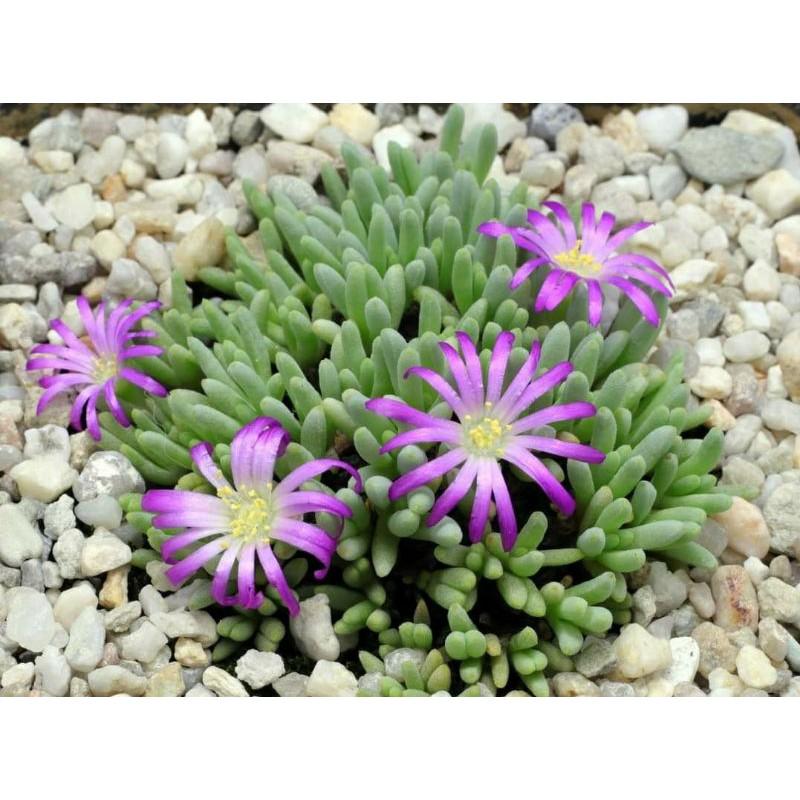 🌱เมล็ดพันธุ์ไม้อวบน้ำ🌱 Delosperma sphalmanthoides 30 เมล็ด
