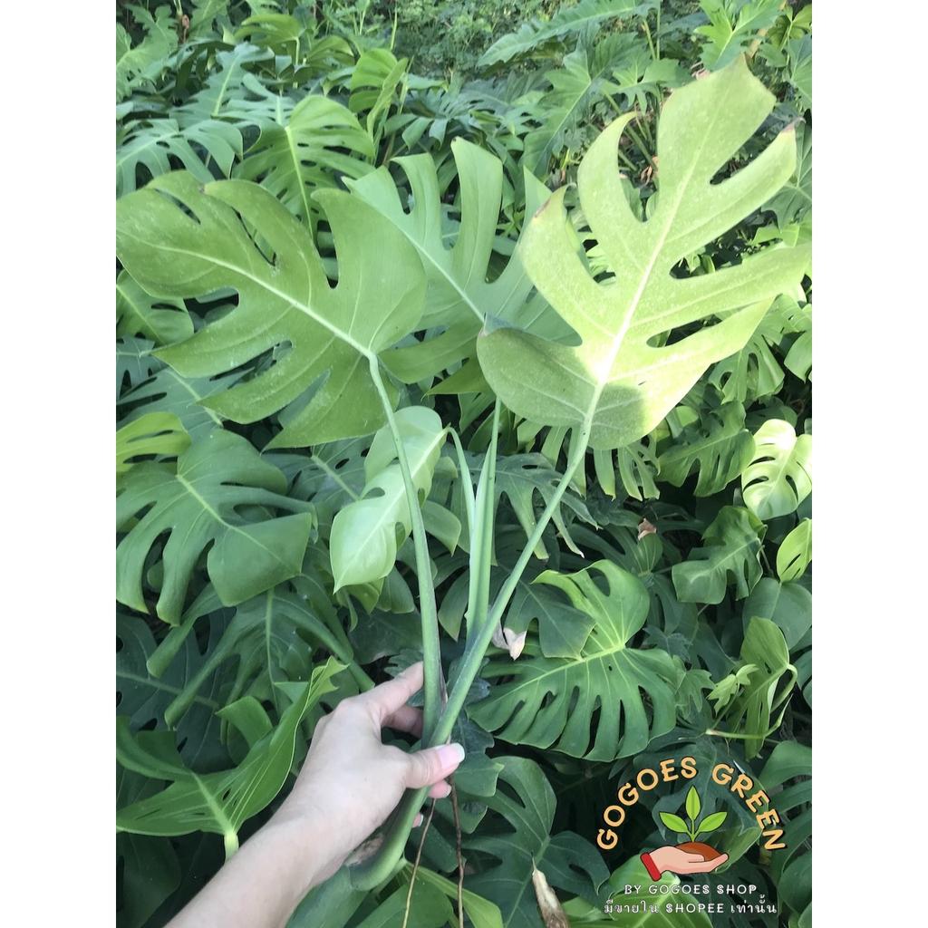 Monstera Borsigiana มอนสเตอร่า พันธุ์เลื้อย เลี้ยงง่าย ออกใบเก่ง ช่วย  ฟอกอากาศ พร้อมส่ง