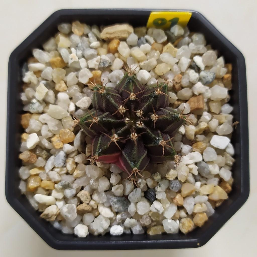 กระบองเพชร (Cactus) ยิมโน ลูกผสม black pearl (ต้นที่ 1) จัดส่งทั้งกระถาง (Update 07/08/2563)