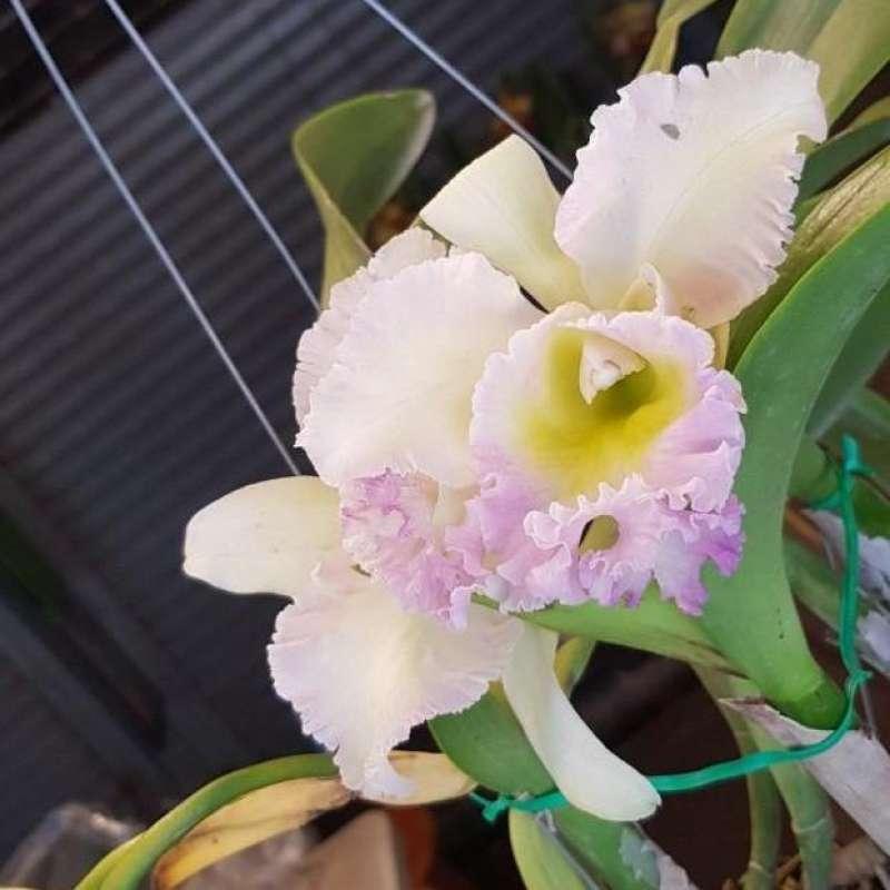 """ต้นกล้วยไม้ แคทลียา (Cattleya)"""" ราชินีแห่งกล้วยไม้ สีขาวปลายม่วง ไม้พร้อมให้ดอก ดอกใหญ่พิเศษ ดอกหอม ออกดอกตลอด"""