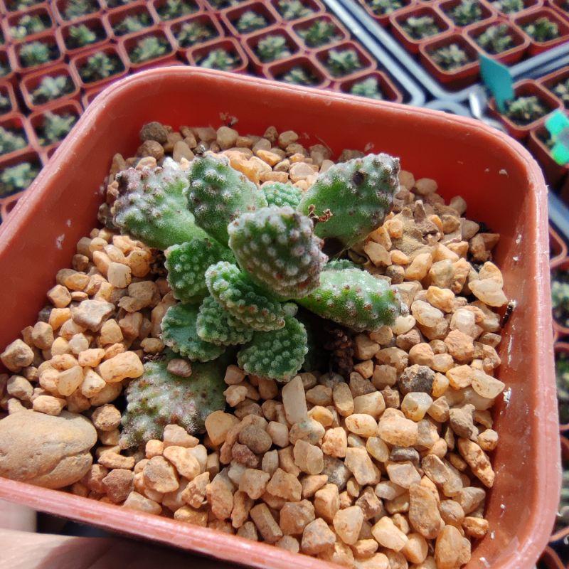 Crassula Ausensis subsp. Titanopsis G succulents กุหลาบหินนำเข้า ไม้อวบน้ำ