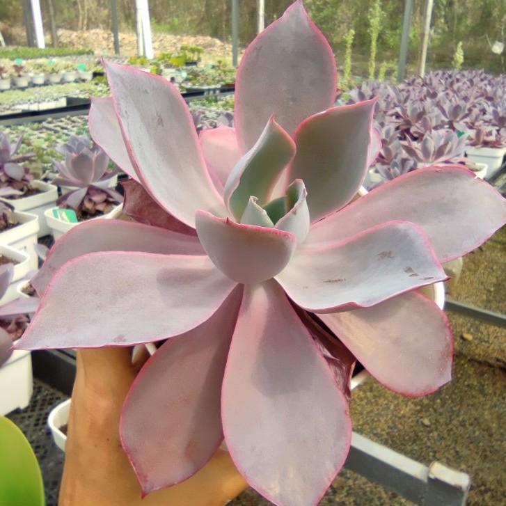 【COD】g◇♝Echeveria Afterglow กุหลาบหินนำเข้า ไม้อวบน้ำ Imported Live Succulents plant