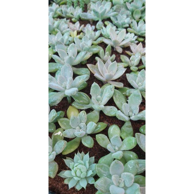 กุหลาบหินไม้อวบน้ำ succulent