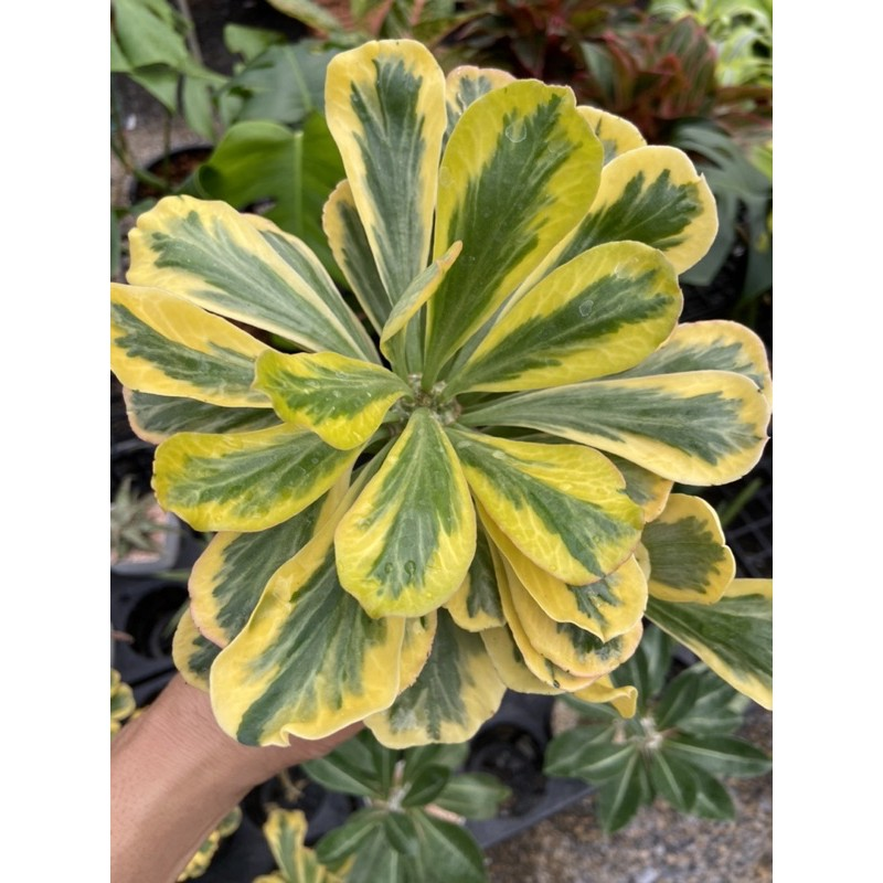 ไม้อวบน้ำ กระบองเพชร โป๊ยเซียน ทองอำพัน Euphorbia poissonii variegated เป็นด่าง