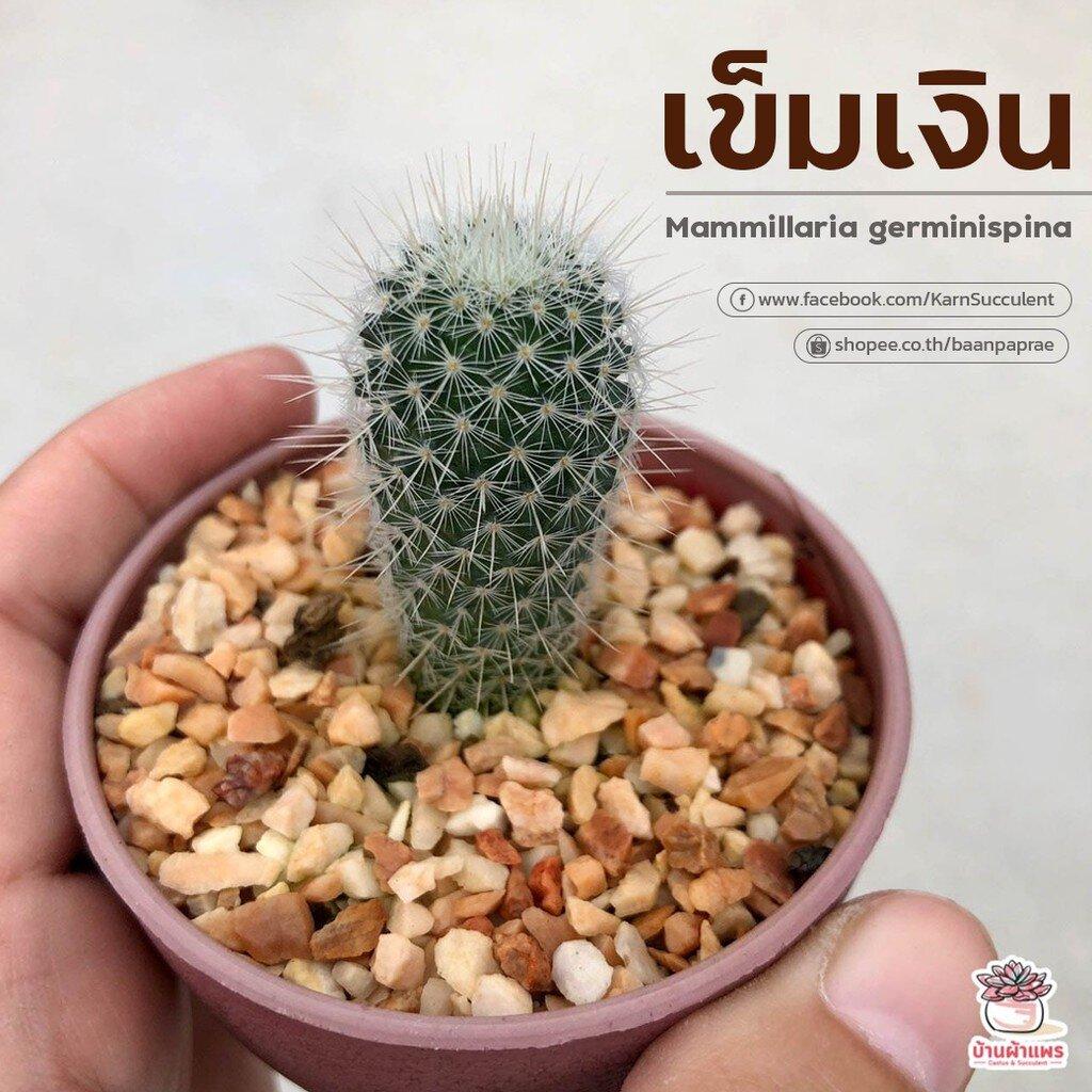 เข็มเงิน Mammillaria germinispina แคคตัส กระบองเพชร cactus&succulent