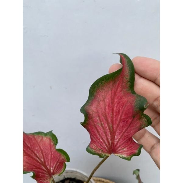 บอนสี ราชินีแห่งไม้ใบ ✨ นางพริ้ว ต้นใหญ่ กัดสีสวย