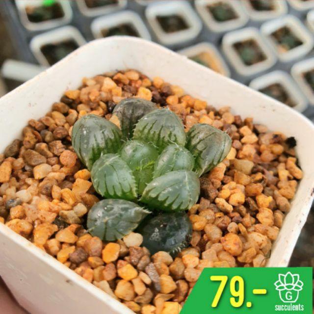 Haworthia Cooperi Mini  G Succulents กุหลาบหินนำเข้า ไม้อวบน้ำ