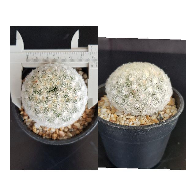 แมมมิลาเรีย ไม้เมล็ด ขนาดพร้อมให้ดอก แคคตัส กระบองเพชร ไม้อวบน้ำ