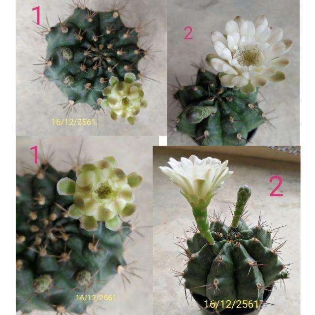Gymnocalycium ขนาดประมาณ 8-10 cm. mihanovichii cactus ยิมโน ดอกสีขาว กระบองเพชร