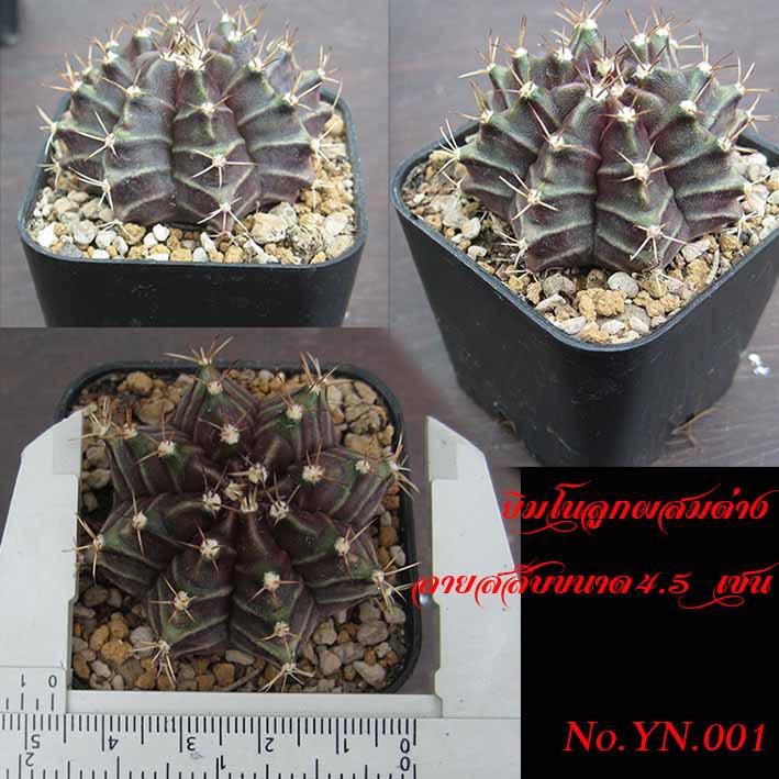 แคสตัส ยิมโนลูกผสมด่าง (Cactus Gymno)