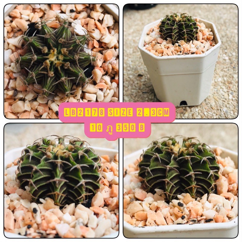 #Cactus #LB2178 size 2.5 cm