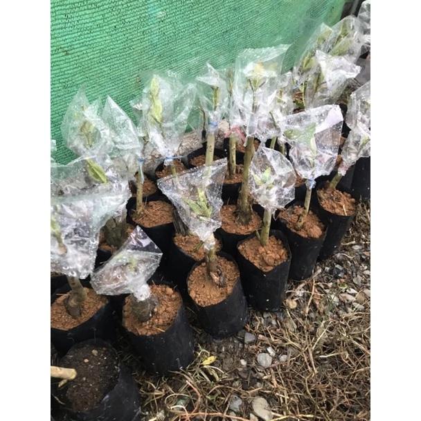 ต้นกระท่อม พืชใบกระท่อมภาคใต้ของแท้ หางกั้ง ก้านเขียว ก้านแดง