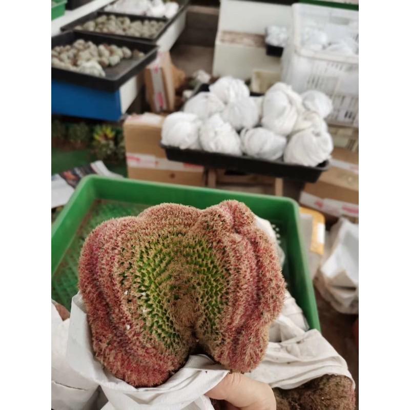 [ถูกสุด] Cactus เรนโบว์ คริสตาต้า กระบองเพชร แคคตัส