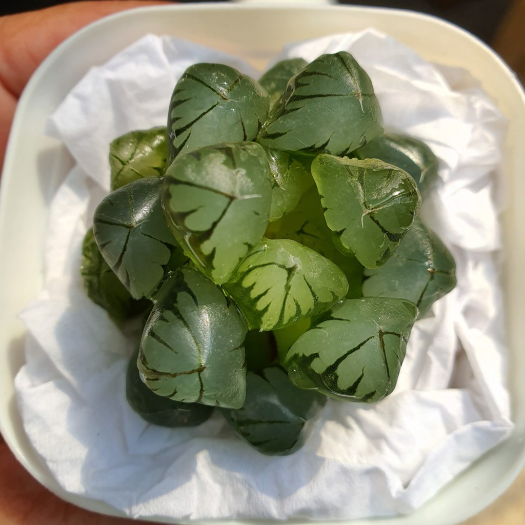 New Arrival สินค้าใหม่ พึ่งนำเข้า Haworthia Obtusa 'Suisho'  succulents 2Uกุหลาบหินนำเข้า ไม้อวบน้ำ