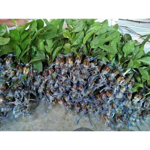 กิ่งตอนฝรั่งกิมจู พันธุ์แท้ รากเยอะ ลูกดกรับประกันสายพันธุ์จากสวน ขั้นต่ำ20กิ่ง