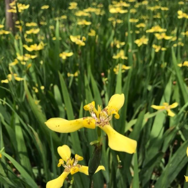ต้นดอกไอริส สีเหลือง Iris | Shopee Thailand