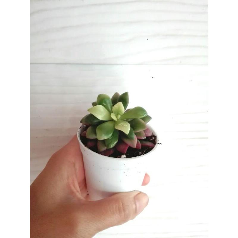 ลูกชุบ ไม้อวบน้ำ succulent