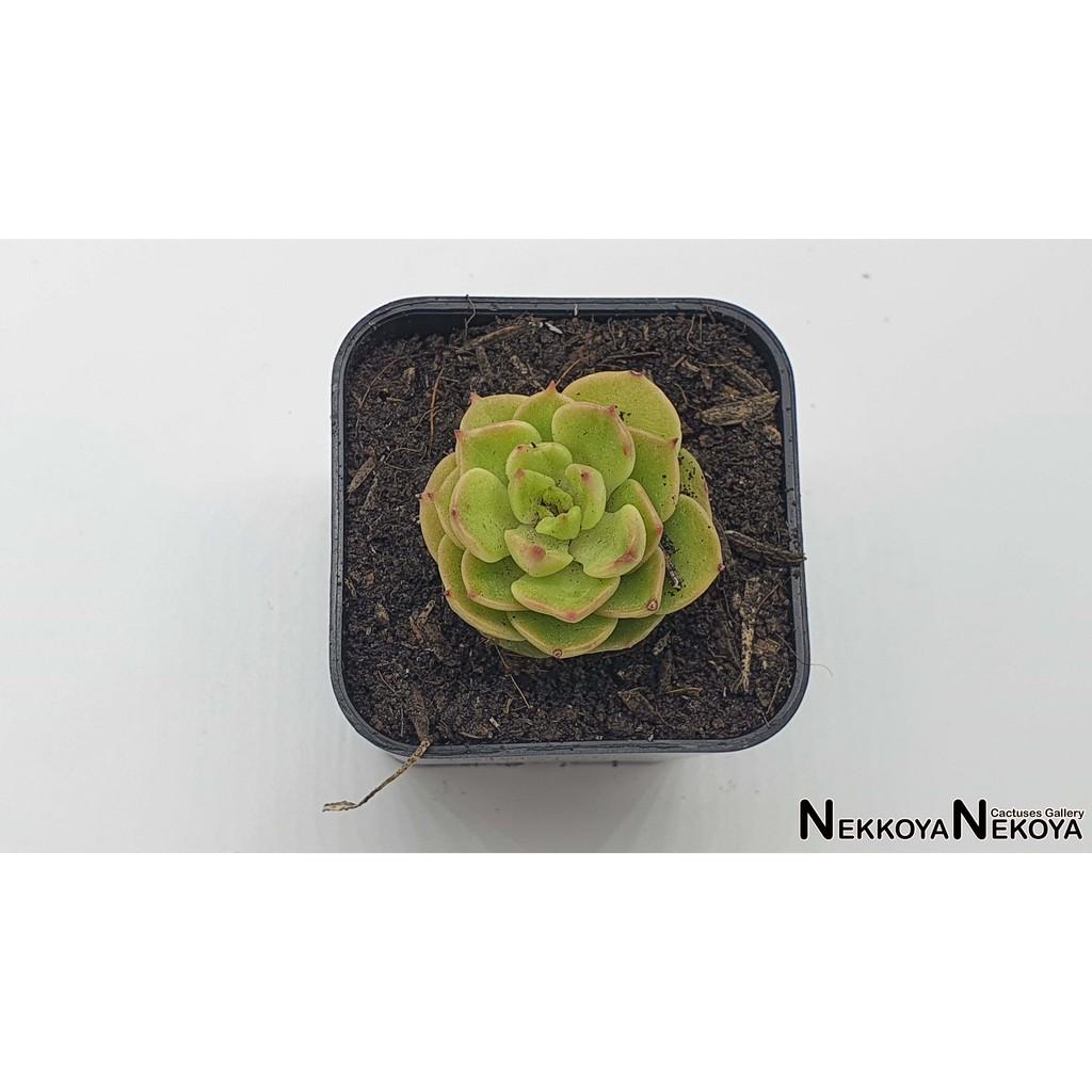 ไม้อวบน้ำ กุหลาบหิน Echeveria green gilva