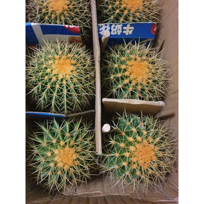 ✕[ถูกสุด] Cactus ถังทอง ขนาด 20 ซม. กระบองเพชร แคคตัส
