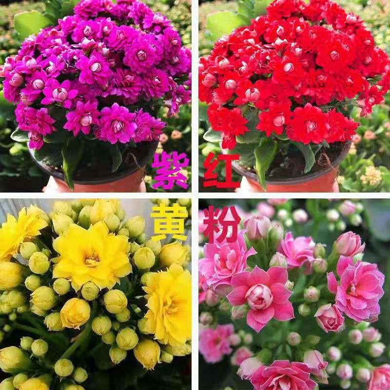 ไม้กระถาง☇❖ดอกไม้อายุยืนสองกลีบมีดอกตูมต้นกล้าขนาดใหญ่พืชสีเขียว อวบน้ำออกดอกสี่ฤดูต้นกล้าใหญ่ Flower Indoor Good Plants
