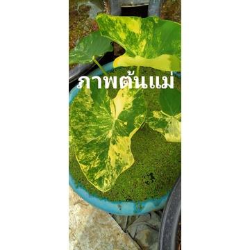 บอนด่าง บอนนาญี่ปุ่นด่าง Colocasia esculenta yellow splash บอนนาด่าง บอนนาญี่ปุ่นด่าง