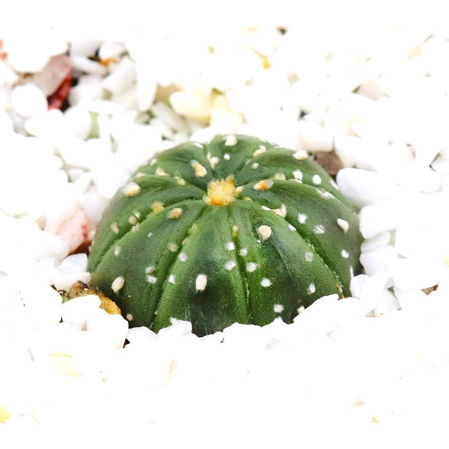 กระบองเพชร แคคตัส แอสโตร Astro cactus