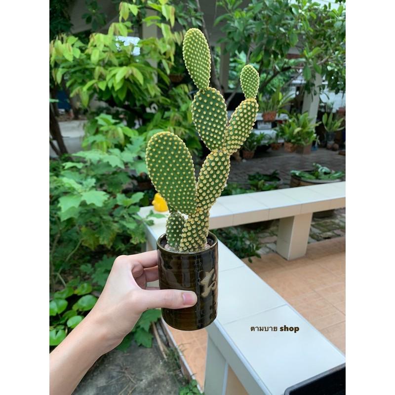 (เด็ดสด) กระบองเพชร หูกระต่าย หนามสีเหลือง โอพันเทีย ไมโครดาซิส  (Opuntia microdasys) cactus ไม้อวบน้ำ