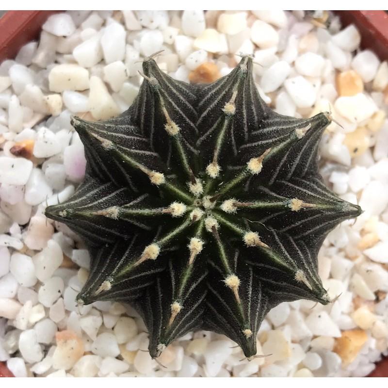 #Cactus #LB2178 size 3-4 cm