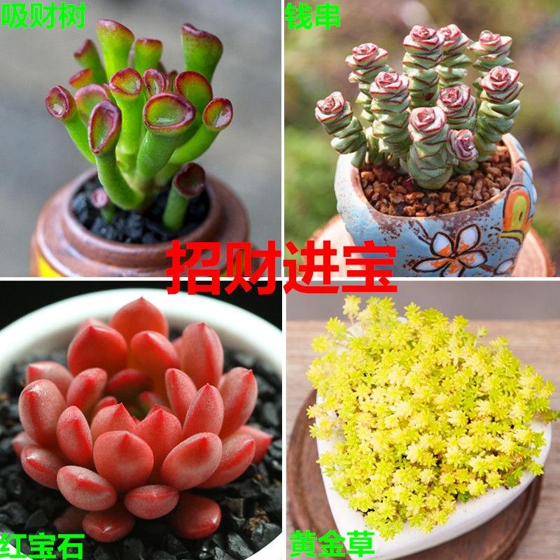 ☃ไม้อวบน้ำ ไม้ใหญ่ ไม้กระถาง ดอกใหญ่ ดอกดี อ้วนหลายหัว พันธุ์หายาก ดอกไม้บูติก