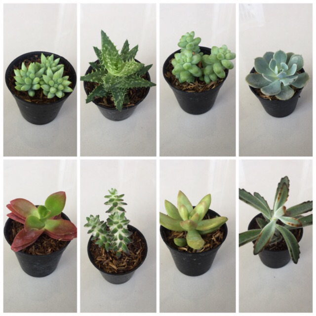Cactus & Succulent : แคสตัส/กระบองเพชร/ไม้อวบน้ำ/ซัสคิลริน/กุหลาบหิน(10 ต้นคละแบบ)