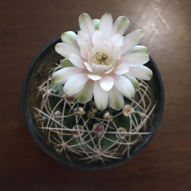 Gymnocalycium cactus กระบองเพชรยิมโน🌵🌸💕