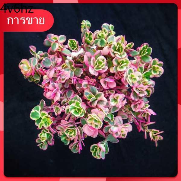 กุหลาบหิน เมล็ด Succulents ♞ผ้าทานตะวัน พืชอวบน้ำ ไม้ดอก การฝึกปรือพิเศษ❈