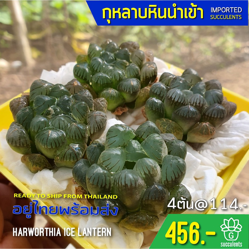New Arrival สินค้าใหม่ พึ่งนำเข้า Haworthia Cooperi Ice Lantern G succulents กุหลาบหินนำเข้า ไม้อวบน้ำ