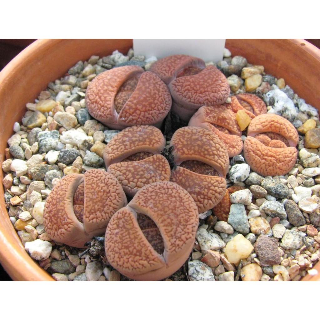 เมล็ดพืชอวบน้ำ เมล็ดไม้อวบน้ำ เมล็ดพันธุ์ LITHOPS - aucampiae (20 seeds)