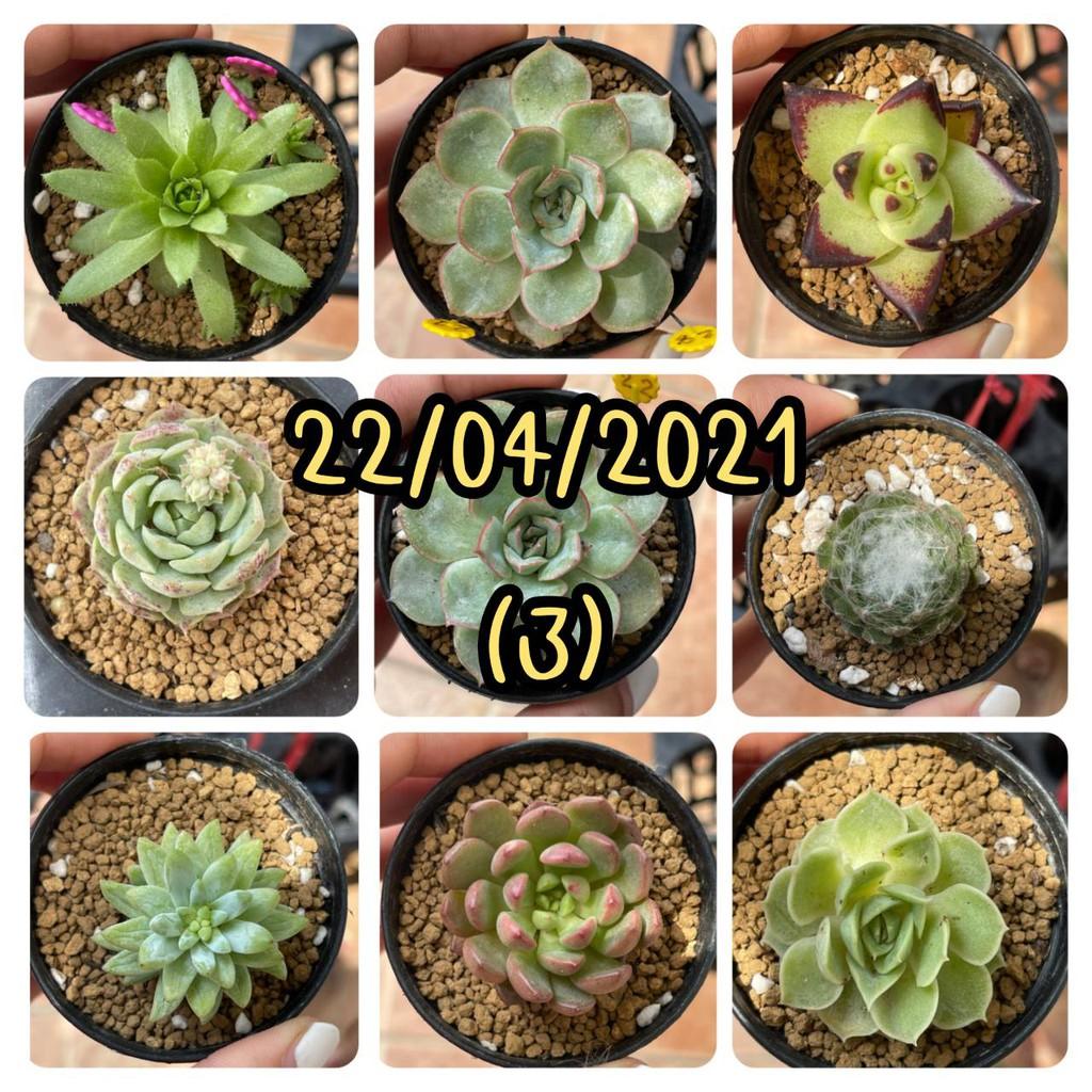 กุหลาบหิน ไม้อวบน้ำ Succulent(3)