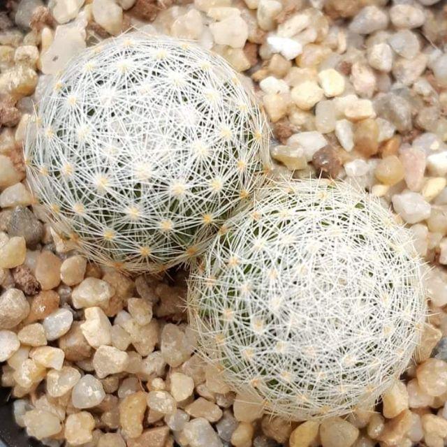 cactus กระบองเพชร ไม้อวบน้ำ