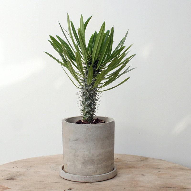 ▥☁▲African King Tree ต้นทรายทนแล้ง Cactaceae เป็นไม้หัวและไม้อวบน้ำหายากเป็นไม้หายากนำเข้า