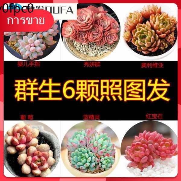 กุหลาบหิน เมล็ด Succulents ❥[การจัดส่ง SF เสริม] ไม้อวบน้ำ, ไม้อวบน้ำ, ไม้กระถางขนาดเล็ก, ไม้หายากในร่มและไม้อวบน้ำ☜