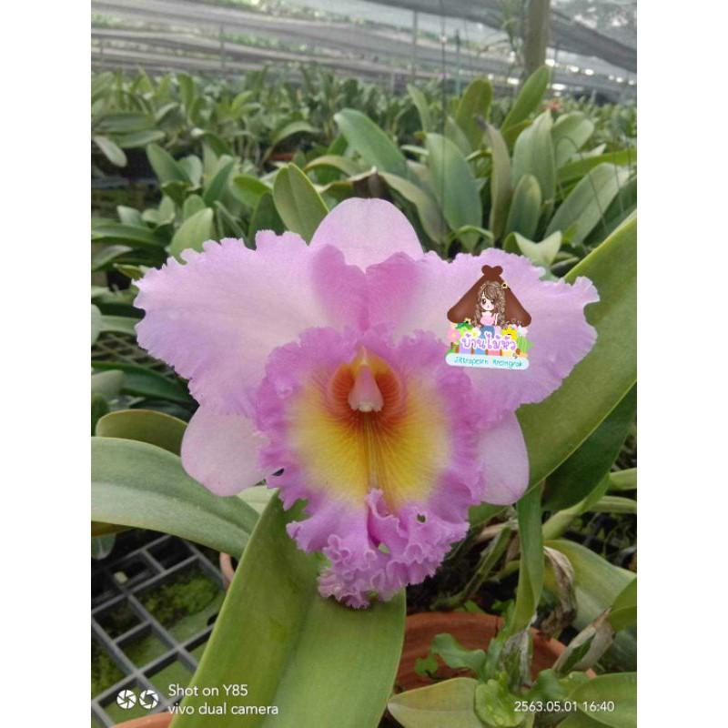 กล้วยไม้ สกุลแคทลียา มาฮีน่า สีม่วงดอกใหญ่ กลิ่นดอกหอม ไม่ติดดอก