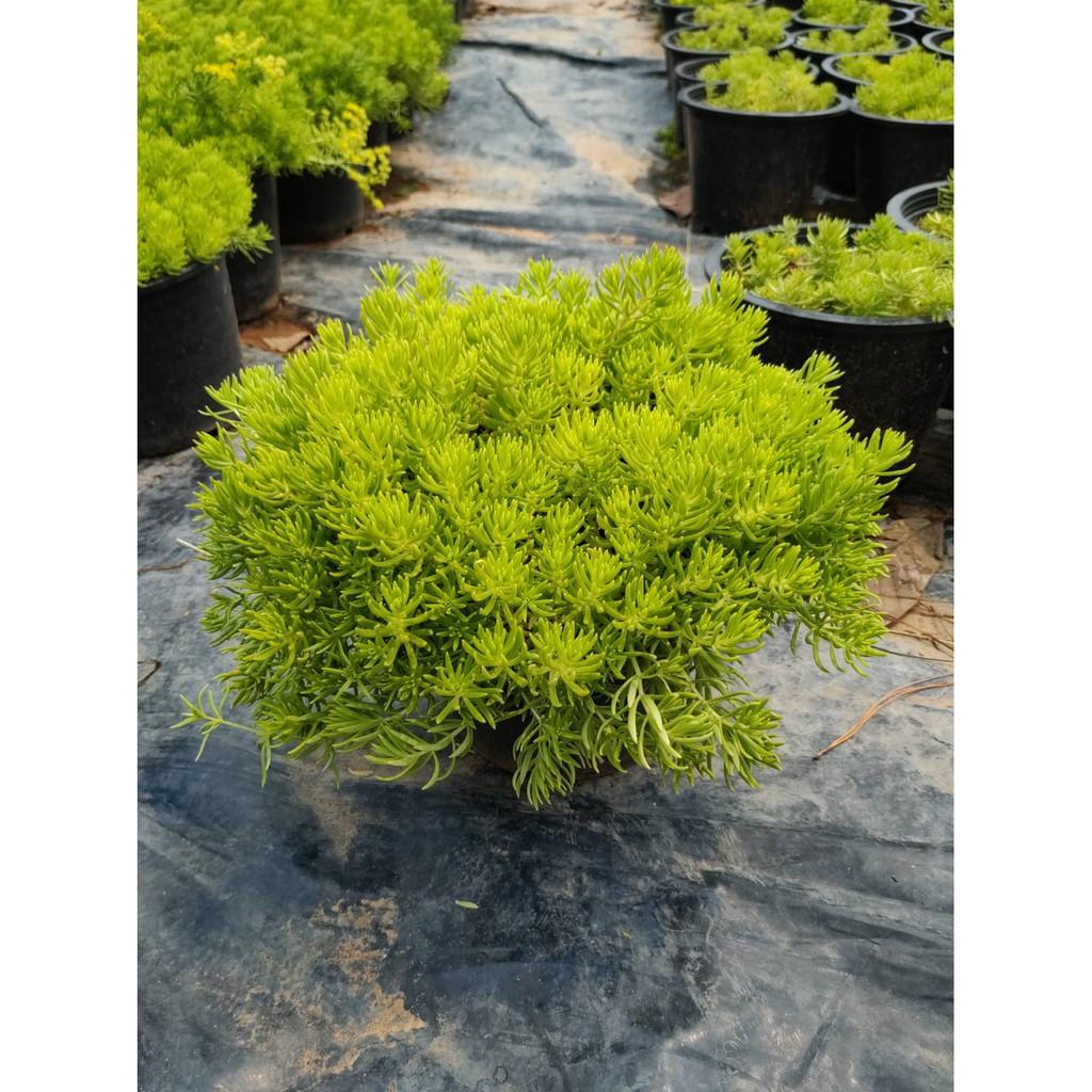 แพรทอง Gold moss sedum  เศรษฐีแพรทอง ไม้อวบน้ำ ไม้ทนแล้ง ไม้ประดับ ไม้ใบอวบน้ำ