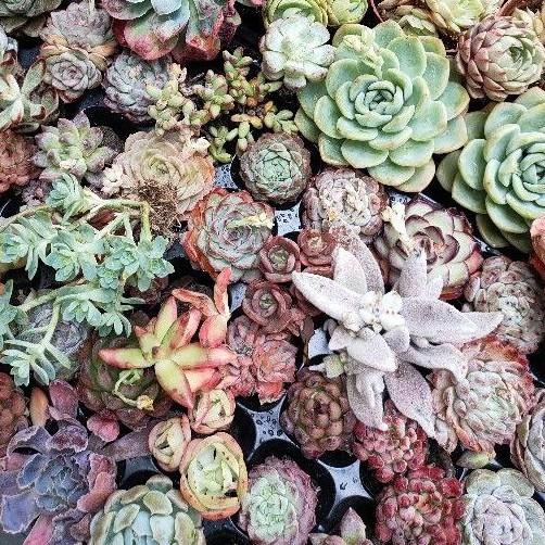 📣💖👍◄◐❆กุหลาบหิน ไม้อวบน้ำนำเข้า succulents ราคาถูก ซื้อครบ 500  แถมฟรี พลั่ว&คราดจิ๋ว