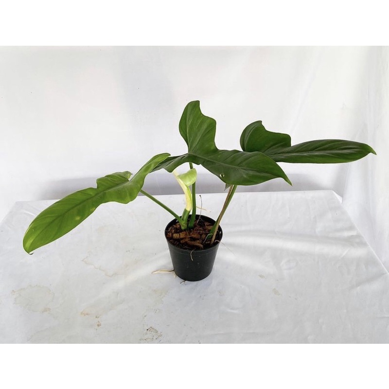 Philodendron Violin Blue ฟิโลเดนดรอน ไวโอลินบลู