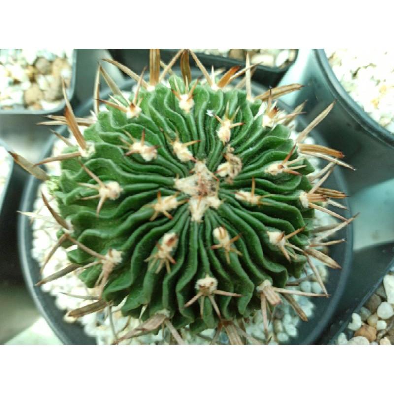 cactus คลื่นสมอง Echinofossulocactus แคคตัส ต้นใหญ่